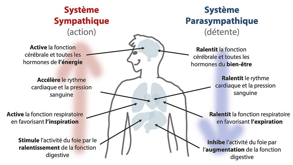 Le système sympathique est celui de l'action, le système parasympathique est celui de la détente